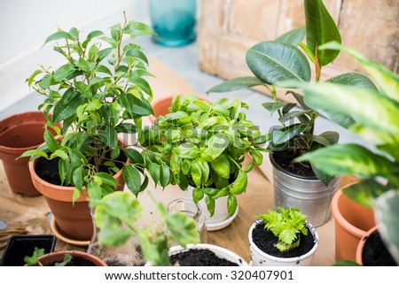 Natural plants in pots, green garden on a balcony. Urban gardening, home planting. Basil and celery regrow. - stock photo