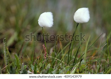 Natural powder puff for face. Dense packing of flowers moss crop (cotton grass, Eriophorum) on the North - cold protection