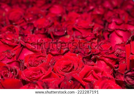 Natural red roses background - stock photo