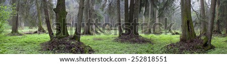 Natural riparian stand of Bialowieza Forest in springtime with some old hollow trees - stock photo