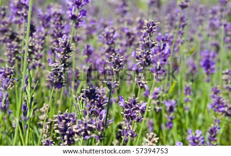 natural shot of a beauty and colorful lavender