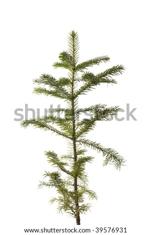 Natural small Christmas fir tree(sapling) isolated on white. - stock photo