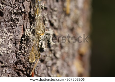 Natural Spruce resin detail - stock photo