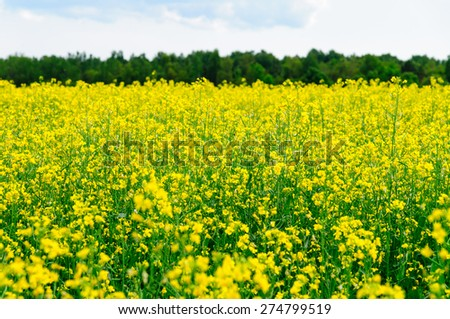 Natural summer close-up view on bright oilseed rape field - stock photo