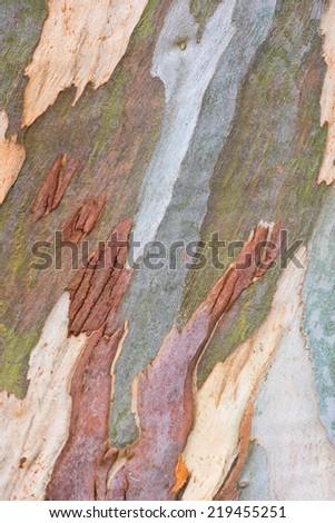 natural texture of eucalyptus tree - stock photo