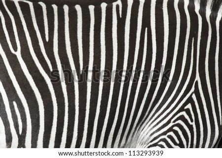 Natural texture of the skin of an African zebra. - stock photo