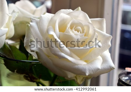natural white rose flower blossom close up