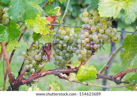 Natural young grapes in the vineyard. - stock photo
