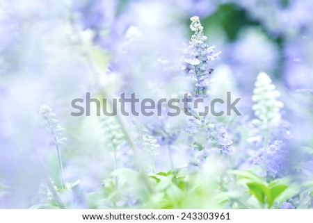nature abstract background from close up Sage plant (lat. Salvia Officinalis)  - stock photo