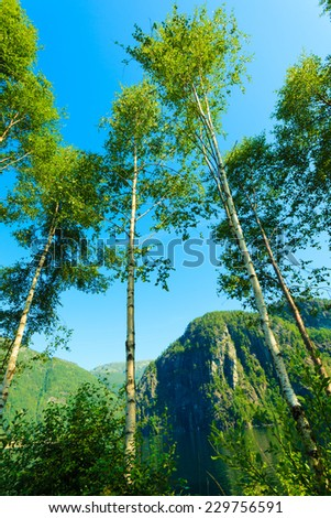 Nature and environment. Silver birch trees against the blue sky. Mountain landscape in the summer. Travel and tourism. - stock photo