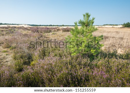 Nature area in summertime with pink and purple flowering Common Heather or  Calluna vulgaris and a Scots pine or Pinus sylvestris in the foreground. - stock photo