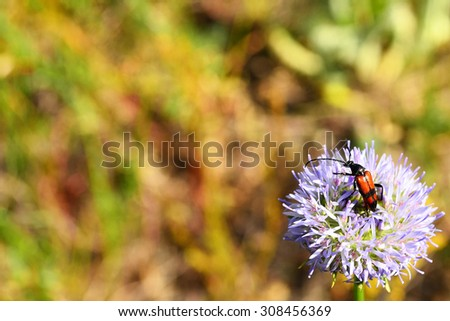 Nature background - lepturine longhorn beetle on a blue bonnet flower (Jasione montana, sheep's bit, iron flower). Background blur: 2/3 wide green and yellow summer grass. - stock photo