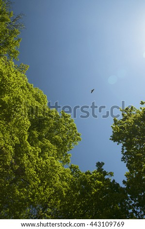 Nature background. Looking up through the tree tops to a bird flying in the blue sky.