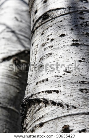 Nature background of a pair of mature Aspen tree trunks with sunlight and shadow created from their overhead branches (mid-focus with medium depth of field). - stock photo