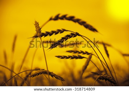 nature background of wheat against the yellow or orange sunset sky backdrop Reap stalks and stems closeup. Nature photo Idea of a rich harvest Space of the setting sun rays on horizon in rural meadow - stock photo