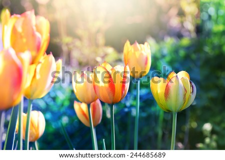 Nature background. Soft focus tulips flower in bloom. - stock photo