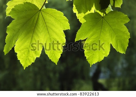 Nature background - two green maple leaf