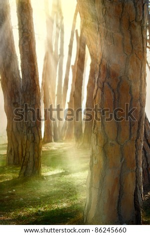 Nature background. View through the tree barks of a pine forest - stock photo