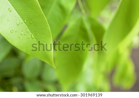 Nature background, water drop on fresh green leaves