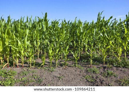 nature background with clear blue summer sky over young green maize or sweetcorn plants and flowering storksbill and bare soil