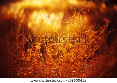 Nature Background with Golden Grass and Beautiful Bokeh Lights. Selective focus. Image toned with warm Colors.