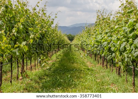 Nature background with vineyard in autumn harvest.