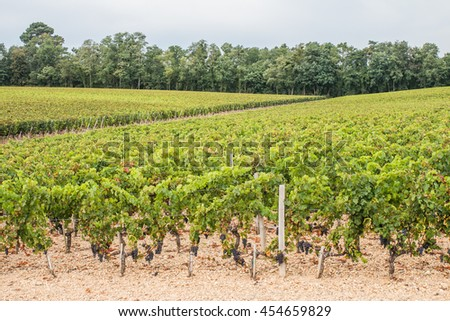 Nature background with vineyard in autumn harvest. - stock photo
