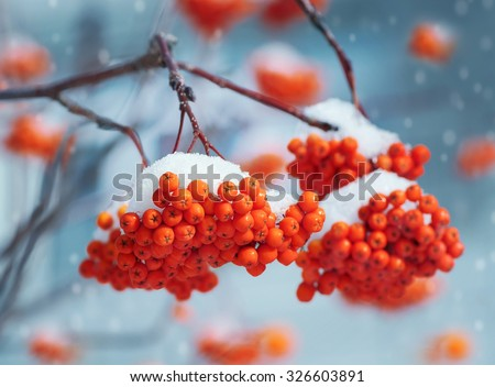 Nature. Bright clusters of a mountain ash in snow. - stock photo