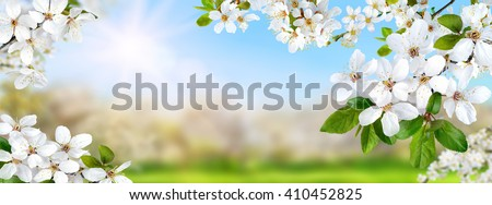 Nature composite showing a spring paradise with white blossoms, the sun and bright blue sky, panorama format - stock photo
