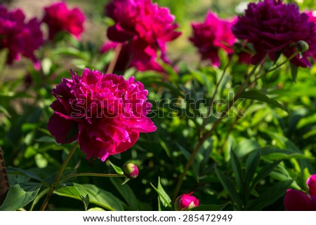 Nature Detail of Bright Colored Fuschia Flowers in Bloom on Lush Green Shrub Lit by Bright Sunlight - stock photo