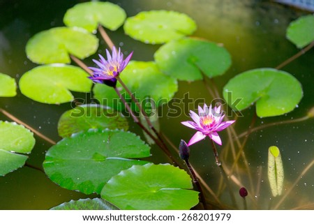 nature, flora and biology concept - water lilies in summer pond - stock photo