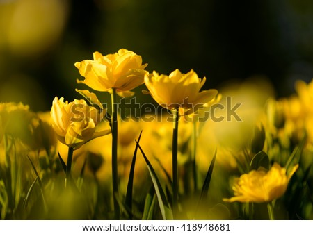 Nature flower background. Amazing natural view of yellow tulips under sunlight in garden. Perspective of beautiful scenery plants in nature. - stock photo
