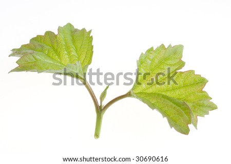 Nature green leaf isolated over white background