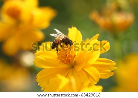 nature insect bee on the yellow flower - stock photo