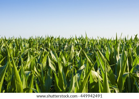 Nature inspiration - Beautiful corn field close-up