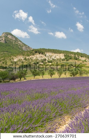 Nature landscape in the French Drome with blooming lavender