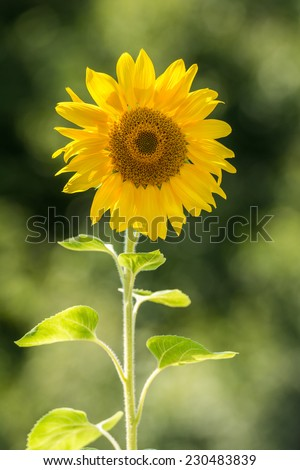 Nature Landscape With Yellow Sunflower Closeup - stock photo