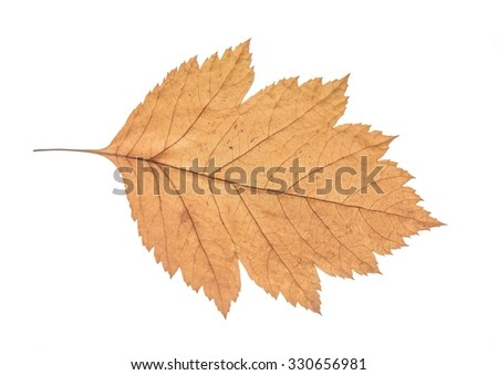 Nature object of colored dry maple yellow or brown leaf isolated on white background Autumn fall backdrop   - stock photo