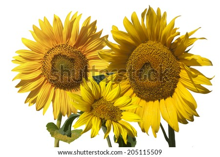 nature,object,sunflowers,illustration,blooming sunflowes,three sunflowers - stock photo