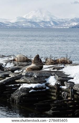 Nature of Kamchatka: rookery Northern Sea Lion or Steller Sea Lion (Eumetopias Jubatus). Russia, Kamchatka Peninsula, Avacha Bay, Petropavlovsk-Kamchatsky. - stock photo