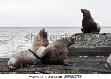 Nature of Kamchatka: rookery Steller Sea Lion or Northern Sea Lion (Eumetopias Jubatus). Avacha Bay, Petropavlovsk-Kamchatsky, Kamchatka Peninsula, Russia - stock photo