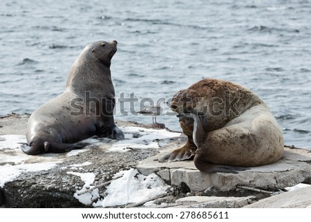 Nature of Kamchatka: rookery Steller Sea Lion or Northern Sea Lion (Eumetopias Jubatus). Russia, Kamchatka Peninsula, Avachinskaya Bay, Petropavlovsk-Kamchatsky City.