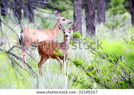 Nature photo of Mule Deer (mother and adolescent) in a Colorado forest of Ponderosa Pine (focus point on foreground adolescent). - stock photo