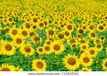 Nature photography on a field of sunflowers. Daylight