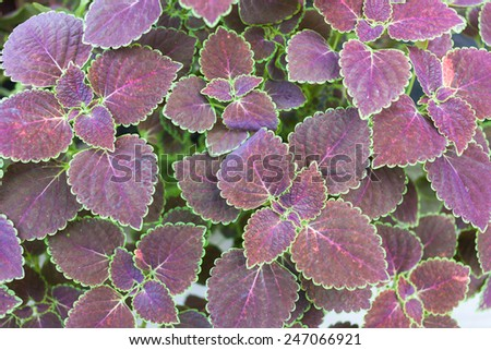 Nature purple leaves wall background and leaves texture. - stock photo