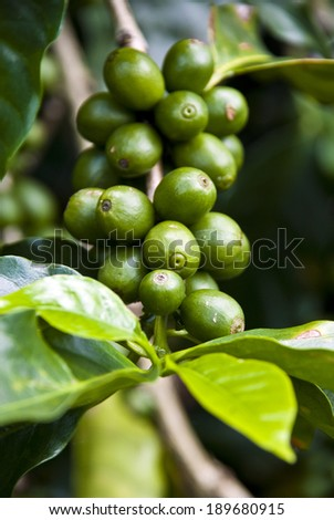 Nature's Garden - Coffee - Green Coffee Beans On The Branch - Unripe Coffee Berries - Immature Coffee Berries / Green Coffee Beans - stock photo