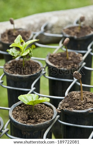 Nature's Garden - Coffee - Various Stages Of The Coffee Plant Germination / Coffee Seedlings  - stock photo