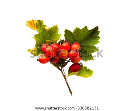 nature, season, autumn and botany concept - hawthorn bunch with red ripe berries - stock photo