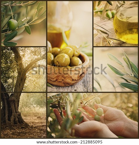 Nature series. Collage of olive orchard in harvest. Ripe olives, olive oil and olive harvest - stock photo