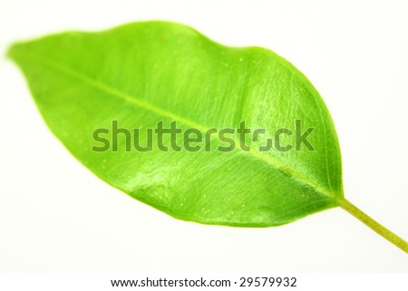 Nature theme: an image of a green leaf